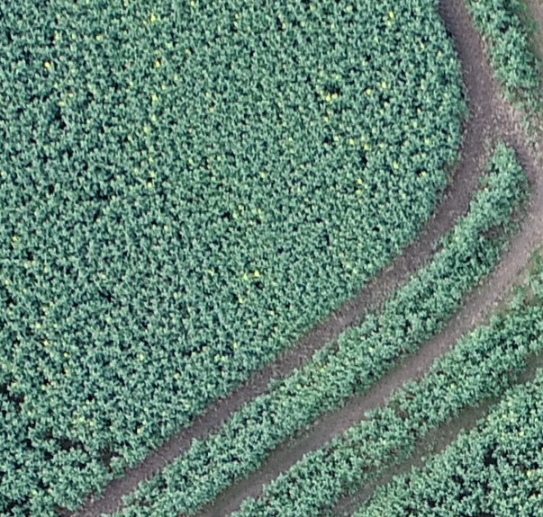 Detail of Oil Seed Rape crop - Aerial Perspective Drones
