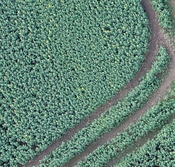 Detail of Oil Seed Rape crop - Aerial Perspective Drones